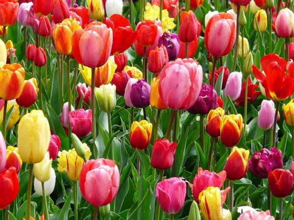 tulips_tulip_bed_219089